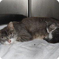 Domestic Shorthair Cat for adoption in Waupaca, Wisconsin - Sapphire