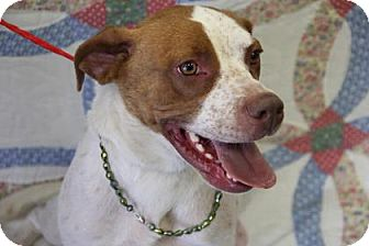 Hound (Unknown Type)/Pit Bull Terrier Mix Dog for adoption in Greensboro, North Carolina - Miss Lois