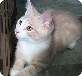 Domestic Shorthair Kitten for adoption in Spencer, New York - Dr Peaches
