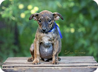 Cattle Dog Mix Puppy for adoption in East Hartford, Connecticut - Bandit in CT