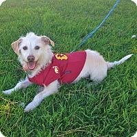 Adopt A Pet :: LITTLE MAX - Van Nuys, CA