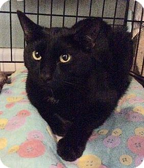 Domestic Shorthair Cat for adoption in Breinigsville, Pennsylvania - Raven