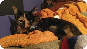 Domestic Shorthair Cat for adoption in Hampton, Virginia - STAR