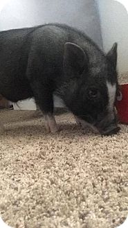 Pig (Potbellied) for adoption in Phoenix, Arizona - Arnold