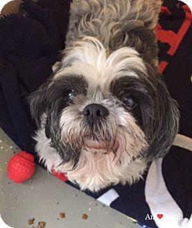 Shih Tzu Mix Dog for adoption in Ile-Perrot, Quebec - Gizmo