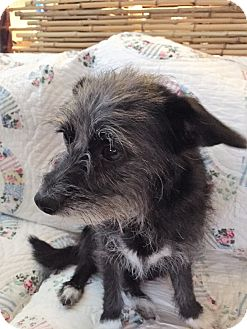 Terrier (Unknown Type, Small) Mix Dog for adoption in Camas, Washington - Mattie