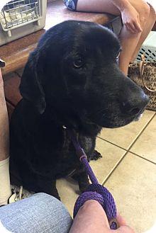 Labrador Retriever Mix Dog for adoption in Clifton, Texas - Harper