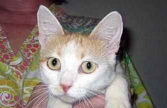 Domestic Shorthair Cat for adoption in Wildomar, California - Tabitha