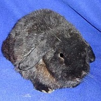 Adopt A Pet :: Gwen - Woburn, MA
