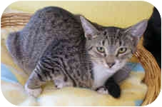 Domestic Shorthair Kitten for adoption in Englewood, Florida - Alexis