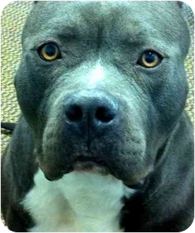 American Pit Bull Terrier Dog for adoption in Bloomfield, Connecticut - Massimo