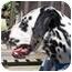 Photo 2 - Dalmatian Dog for adoption in Pacific Grove, California - Susie