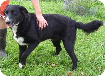 Border Collie Mix Dog for adoption in Somerset, Pennsylvania - Sparky