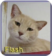 Domestic Shorthair Cat for adoption in Aldie, Virginia - Flash