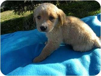 Golden Retriever/Labrador Retriever Mix Puppy for adoption in PORTLAND, Maine - Bolt - ON HOLD