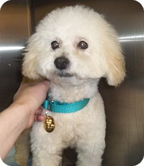 Maltese/Bichon Frise Mix Dog for adoption in Oak Ridge, New Jersey - Xylophone