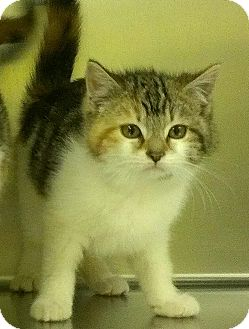 Domestic Shorthair Kitten for adoption in Richboro, Pennsylvania - Tia Mowry