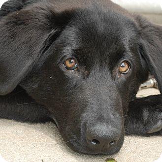 Labrador Retriever Mix Dog for adoption in Columbia, Illinois - Bert