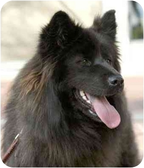 Spitz (Unknown Type, Medium)/Chow Chow Mix Dog for adoption in Rolling Hills Estates, California - Lucy
