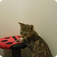 Adopt A Pet :: Sibling Kitties - Chesterfield, VA