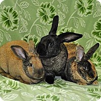 Flemish Giant Mix for adoption in Chesterfield, Missouri - Ambrosia, Honey, Eclair