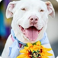 Adopt A Pet :: Grace - Redondo Beach, CA