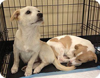 Shepherd (Unknown Type) Mix Puppy for adoption in Houston, Texas - Blondie