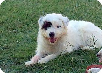 Border Collie/Old English Sheepdog Mix Puppy for adoption in Weatherford, Texas - *ANGEL*