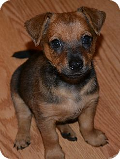 Shepherd (Unknown Type)/Terrier (Unknown Type, Medium) Mix Puppy for adoption in Encino, California - Luigi - Simona Pup