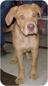 Boxer/Labrador Retriever Mix Puppy for adoption in North Judson, Indiana - Burger
