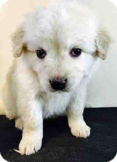 Golden Retriever Mix Puppy for adoption in Gahanna, Ohio - ADOPTED!!!   Nicholas