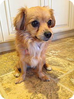 Papillon Mix Dog for adoption in Coachella, California - Frisco