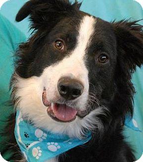 Border Collie Dog for adoption in Las Vegas, Nevada - Riley