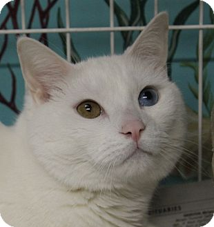 Domestic Shorthair Cat for adoption in North Branford, Connecticut - Tommy