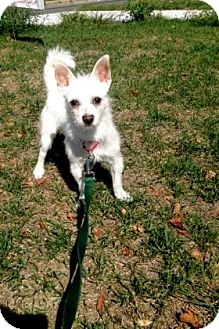 Chihuahua Mix Dog for adoption in Lowell, Massachusetts - Freddie Mercury