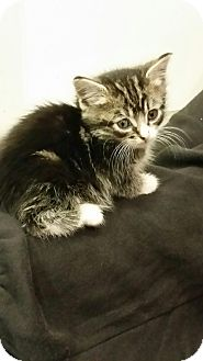 Domestic Shorthair Kitten for adoption in Randolph, New Jersey - Lexi & Alex (so cute!)