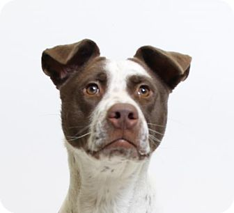 Pointer Mix Dog for adoption in Truckee, California - Maple