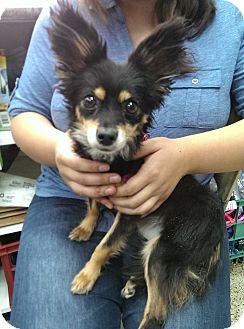 Papillon/Chihuahua Mix Dog for adoption in Thousand Oaks, California - Foxy