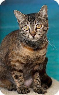 Domestic Shorthair Cat for adoption in Coronado, California - Posh