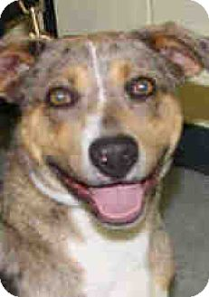 Catahoula Leopard Dog Mix Puppy for adoption in cupertino, California - Chuckles