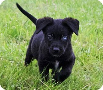 Australian Shepherd/Border Collie Mix Puppy for adoption in Hastings, Nebraska - Puppies
