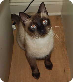 Siamese Cat for adoption in Plano, Texas - MASON - SEAL-POINT LOVER!