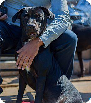Labrador Retriever/Pit Bull Terrier Mix Dog for adoption in Alpharetta, Georgia - Mayfield