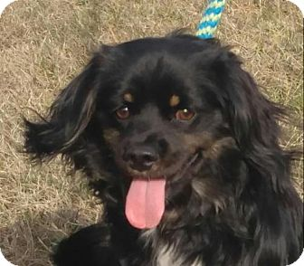Cocker Spaniel/Dachshund Mix Puppy for adoption in Spring Valley, New York - Romeo