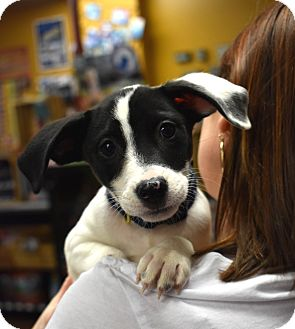 Jack Russell Terrier/Beagle Mix Puppy for adoption in Eden Prairie, Minnesota - Blue