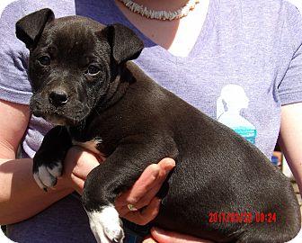 Labrador Retriever/American Bulldog Mix Puppy for adoption in Niagara Falls, New York - Halo (8 lb) Video!