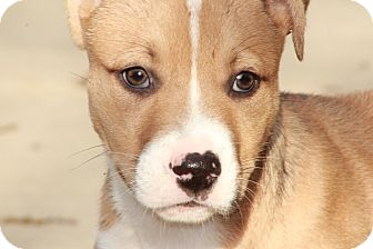 Boxer/American Staffordshire Terrier Mix Puppy for adoption in Westerly, Rhode Island - Dunlop
