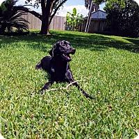 Adopt A Pet :: Jericho Barrons - Austin, TX