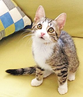 Domestic Shorthair Kitten for adoption in Youngsville, North Carolina - Chelsea