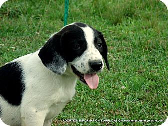 Spaniel (Unknown Type)/Labrador Retriever Mix Puppy for adoption in Waterbury, Connecticut - Anna/ADOPTED